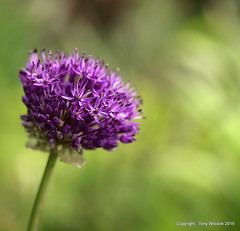 Allium going global. (pike head) Tags: uk england garden olympus devon torquay allium e30 torbay photoengine oloneo