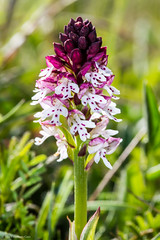 Burnt Orchid (Neotinea ustulata var. ustulata) (BiteYourBum.Com Photography) Tags: uk greatbritain england orchid apple unitedkingdom gb eastsussex canonef1740mmf4lusm lewes allrightsreserved swt ipad mountcaburn focusstacking ustulata macpro canonefs60mmf28macrousm sussexwildlifetrust biteyourbum canoneos7d burnttiporchid appleipad neotineaustulata lrenfuse dawnandjim canonspeedlite430exii burnttip caburnbottom sigma50500mmf4563dgoshsm loweproprorunner350aw southerhamnaturereserve lightroom5 biteyourbumcom dawnjim camranger copyright©2015biteyourbumcom copyright©biteyourbumcom neotineaustulatavarustulata varustulata