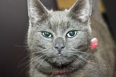 Chloe the cat (Drew Hillier) Tags: cat feline pussycat moggy