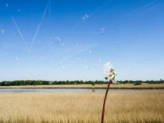 P5050034 (veneman) Tags: flowers sky dandelion flevoland oostvaardersdijk kwelplas