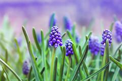 Hyacinth (_Sylvian) Tags: flowers flower macro floral closeup garden spring flora colorful purple poland warsaw hyacinth springtime