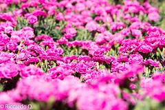 _DSC9259.jpg (Riccardo Q.) Tags: macro fiori fiore altreparolechiave floreka