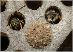 We are family ... (Ed Phillips 01) Tags: red macro insect wasp hole mud nest mason bee staffordshire mpe osmia bicornis ancistrocerus beehotel