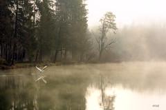 IMG_9329 L'Envol. (rolanddumontgirard) Tags: nature rivire jura campagne arbre printemps oiseau brouillard cygne matin romantique rolanddumontgirard