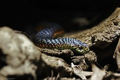 """Like a rainbow in the dark"" (vito.chiancone) Tags: snake rainbow colours dark serpente rettile animale animali reptile nuance nature creature scary creepy sinuosit natura foglie colori sottobosco australia queensland"