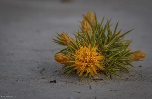 flor de quilimbay_