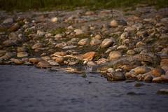 my first gavial crocodile! #nepalroutes [EXPLORE] (Antonio Cinotti ) Tags: nepal nature animal river nikon asia explore crocodile chitwan gavial chitwannationalpark d7100 chitwanpark nikon18300 nikond7100 nepalroutes gavialcrocodile