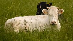 vache  dans un pr (Yasmine Hens) Tags: green nature animal cow europa flickr belgium sony ngc vert campagne extrieur champ vache namur hens yasmine wallonie pr iamflickr flickrunitedaward sonyrx10m3 hensyasmine