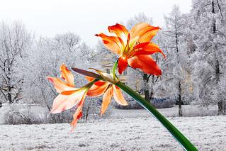 Амариллис. Colour and  snow 2.