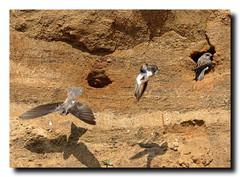 Sand Martins at Barmston - East Yorkshire 25 (andyrotchell) Tags: eastyorkshire barmston sandmartins nestinginthecliffs