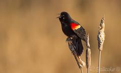 Red-winged Blackbird (Ron Gallagher Photography) Tags: red black bird birds birding marsh birders blackbird birder redwinged redwingedblackbird
