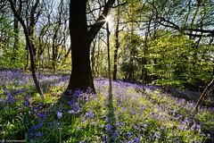 Bluebell woods (scarramooch) Tags: morning blue light sun bluebells outside outdoors star spring woods shadows burst d7100