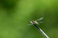 On a different stick (Out of Focus [sic]) Tags: outside dragonfly stick landed woodlake naturecenter 4wings