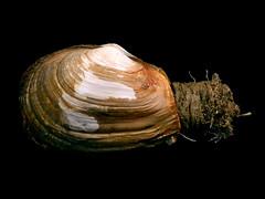Mya truncata (bathyporeia) Tags: shells belgium northsea bivalvia benthos myidae myatruncata bluntgaper hanshillewaert