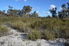Leucopogon sp Flynn (jeans_Photos) Tags: threatened leucopogon geo:country=australia geo:state=westernaustralia leucopogonspflynn taxonomy:binomial=leucopogonspflynn