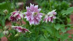 Aquilegia Vulgaris 'Nora Barlow' (christinedurand) Tags: flower nature fleur doublefantasy