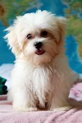 Oskar (Rafaela Roque) Tags: maltes puppy dog cute fofo white tong lingua lovely