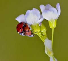 Seven-spot Ladybird Coccinella Septempunctata (Ivan Lynas Nature Photography) Tags: