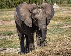 I'm All Ears (Darts5) Tags: elephant closeup canon pachyderm ears trunk elephants 7d2 ef100400mm 7dmarkii canon7d2 canon7dmarkii 7dmarkll canon7dmarkll ef100400mmlll canonef100400mmlii 7d2canon