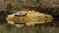 Baled out (Graham Dash) Tags: surrey cobham reptiles terrapins painshillpark painshill trachemysscriptascripta yellowbelliedsliderterrapins