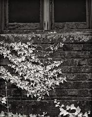 Weyerhaeuser Wall (mjardeen) Tags: blackandwhite bw white black brick texture mamiya window glass wall ir washington pattern conversion outdoor sony ivy 55mm infrared wa converted tacoma f18 northend a7ii sekor 720nm lifepixel mamiyasekor55mmf18 a7m2 ilce7m2