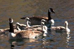 Five Goslings (Karen McQuilkin) Tags: swim utah spring pond awim fivegoslings karenmcquilkin canadianpair