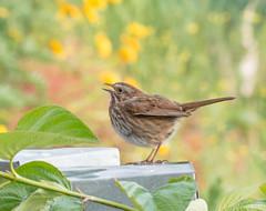 Bird Song. (Omygodtom) Tags: sunlight bird nature outdoors nikon bokeh wildlife air tamron90mm songsparrow d7100 urbunnature