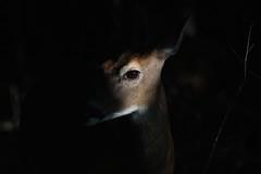Deer (SeraJayPhotos) Tags: cadescove tennessee nature greatsmokynationalpark nationalparks deer morning light shadows