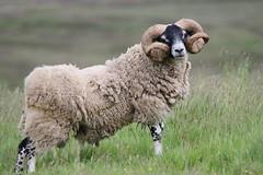 The Pride of Scotland! (themadbirdlady) Tags: sheep domesticanimal scottishblackface sheriffmuirnorthnn8303