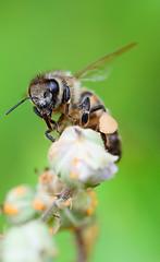 Bee (yvan642) Tags: eos7dmarkii bee insect wild macro 100mmf28 canon 7dmarkii 7d