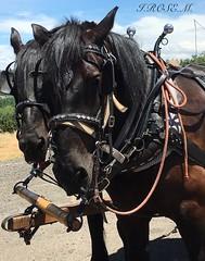I.ROSE.M. #Wagon Train,# 67th Annual Ride, Placerville (idarosemarcantonioakai.rose.m.) Tags: horses horse black train wagon blackhorse reins wagontrain blackhorses