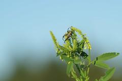 Spider on yellow flower (horschte68) Tags: spider yellow green flower tair11a135mm28 pentax bokeh dof depthoffield m42