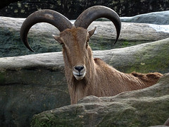 Barbary Sheep (enjosmith) Tags: brown rocks horns tarongazoo babarysheep