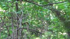 Kentucky Warbler - Baldpate Mountain Fiddler's Creek Road Titusville, NJ - 05/29/2016 (kdxshiryu) Tags: nature birds video kentucky warbler