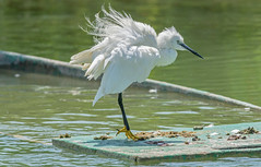 DSC2551 Little Egret.. (jefflack Wildlife&Nature) Tags: littleegret egret egrets avian wildlife wildbirds waterbirds waders waterways countryside nature tuscany ngc birds