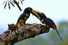 Many-banded Aracari's high up in the Amazon rainforest canopy. (One more shot Rog) Tags: tree bird nature birds amazon rainforest wildlife beak galapagos canopy napo beaks amazonrainforest amazonbasin aracari aricari manybandedaracari onemoreshotrog napolodge rogersargentwildlifephotography