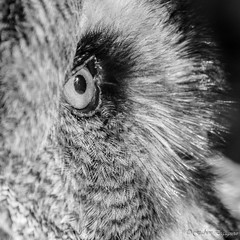 Mon oeil ! (Fabien Legagneur) Tags: bw bird animal canon belgium noiretblanc owl tamron oiseau chouette rapace eos500d pairidaiza