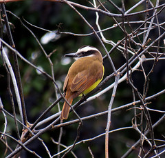 Benteveo. (jagar41_ Juan Antonio) Tags: animal aves pjaros ave animales pjaro benteveo