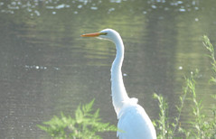 Lost in Thought (Alemap.1) Tags: egret bird white stately nature portrait macro