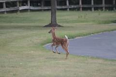IMG_9261 (thinktank8326) Tags: deer whitetaileddeer fawn doe babyanimal babydeer nature wildlife