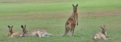 Kangaroo (gary8345) Tags: australia kangaroo qld queensland kangaroos 2015 snapseed