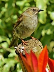 uk bird garden spring post dunnock bbc april oxfordshire rspb springwatch countryfile clanflickr