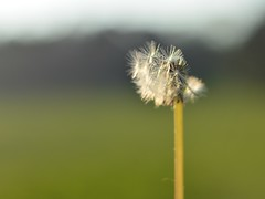Make a Wish (Jemma Okapie Smith) Tags: flower green spring daisy makeawish