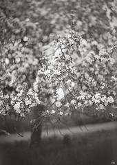 Blossom Cloud (*altglas*) Tags: bw panorama film sepia analog bokeh blossoms bloom toned rodinal150 largeformat mentor appletree apfelbaum blüten 5x7 obstbaum apfelblüte 13x18 obstblüte aeroektar grosformat 25178mm adoxchs100ii