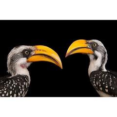 #BirdsLifeSeria #YellowBilledHornbills #YellowBilledHornbillsSeria #BirdsSeria #KuslarSeria #Hornbills #HornbillsSeria #EasternYellowBilledHornbillsSeria #EasternYellowBilledHornbill Least Concern (IUCN 3.1) Scientific classification Kingdom: #AnimaliaSer (mgavsar) Tags: hornbills easternyellowbilledhornbill tockusflavirostris bucerotiformes yellowbilledhornbills joelsartore birdsseria birdslifeseria kuslarseria pazartesi2015seria pazartesiseria animaliaseria chordataseria avesseria nisan2015seria april13nisan2015 nisan13seria pazartesinisanseria yellowbilledhornbillsseria hornbillsseria easternyellowbilledhornbillsseria bucerotidaeseria tockusseria tockusflavirostrisseria