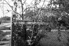 _DSF6561 (GT-Nikhil) Tags: blackandwhite fence top bougainvillea chainlinkfence oneyear dilapidated onecamera onelens theonlinephotographer printproject nikhilramkarran ocoloy annualphotoproject