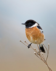 The African stonechat or common stonechat (Saxicola torquatus) (rogerfscott) Tags: bird nature african reserve common watcher saxicola stonechat torquatus rietvlei