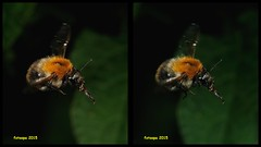 3D cross-view L40_0041 (fotoopa) Tags: macro inflight 3d insects laser highspeed flyinginsects highspeedflash 3dphotography vliegende insectsinflight vliegend 3dmacro highspeedcapture picturesinflight highspeedmacro af10528dmicro fotoopa inflightinsects lasercontrol lasertriggered vliegendeinsecten laserdetection 3dinsects 3dinflight lasercamera flyinghighspeedinsects highspeedlaserdetector irlaserdetection multiplelaserdetection insectenfotografie vliegendebeestjes fotosvliegendeinsecten picturesinflightinsects