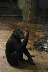chimp (Olaya Garcia) Tags: madrid espaa canon eos zoo spain chimp pan troglodytes zooaquarium pantroglodytes chimpances zoomadrid zooaquariummadrid 1000d