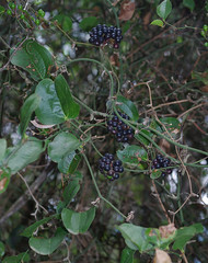 Smilax australis, Thunderbolts Lookout, Barrington Tops National Park, NSW, 07/02/15 (Russell Cumming) Tags: plant newsouthwales muswellbrook smilax smilacaceae barringtontopsnationalpark smilaxaustralis thunderboltslookout